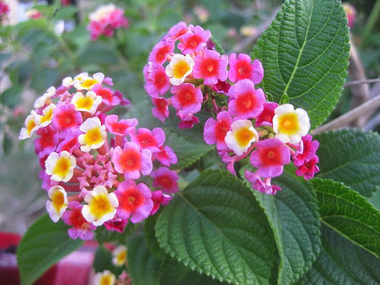 Mẹo chữa viêm xoang bằng cây Hoa ngũ sắc tại nhà